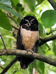 Spectacled owl - Wikipedia