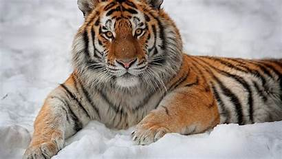 Tiger Wallpapers Driverlayer Cave Engine