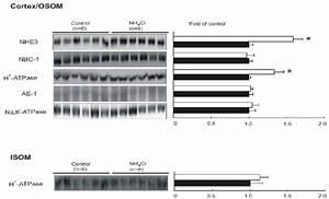 Semiquantitative Immunoblotting Of Nhe3  Nbc1  H  Uff0b