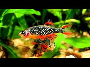 Danios Fish Fun Facts