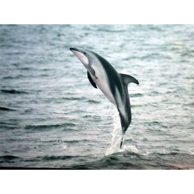 The Dusky DolphinPhotos and Info-FactsThe Wildlife