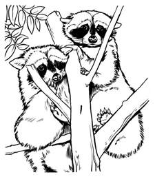 chester raccoon coloring pages colouring pages 4 opossum coloring - Chester Raccoon Coloring Page