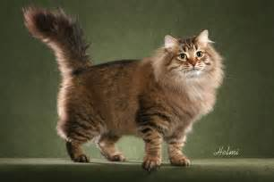 siberian cats siberian cat pictures personality and how to care for