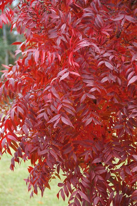 pistacia chinensis chinese pistache cherry