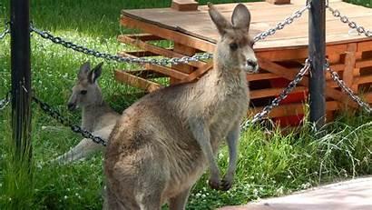 Kangaroo Eastern Grey Zoo Larger Animal