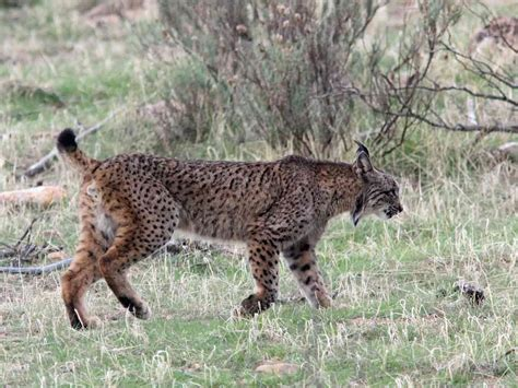 lynx iberian lancha moore spring wild days wildabouttravel