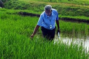 IRRI - Climate change-ready rice