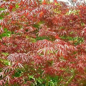 Erable Du Japon Entretien : acer palmatum 39 trompenburg 39 vente erable du japon pourpre ~ Nature-et-papiers.com Idées de Décoration