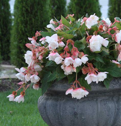 begonia plant types types of begonias