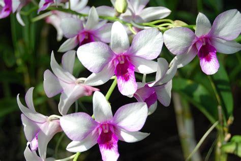 information of orchid flower como cuidar de orqu 237 deas