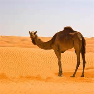 Camel Animals Photos, Images, Pictures, Full Hd Wallpaper ...