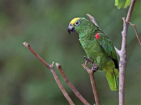 cape parrot facts pet care behavior housing diet