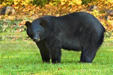 Teddy Roosevelt Would Be Proud: Louisiana Black Bears ...