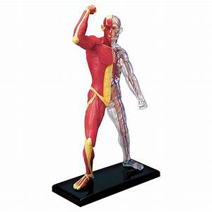 4d Human Anatomy Muscle  U0026 Skeleton Model
