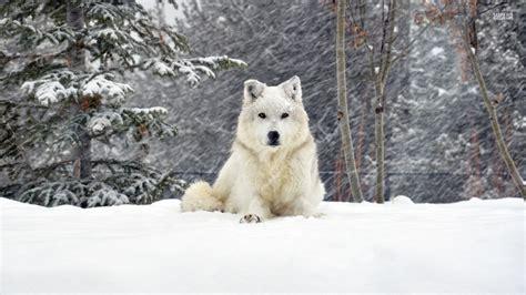 White Wolf Animals Wallpaper 38718346 Fanpop
