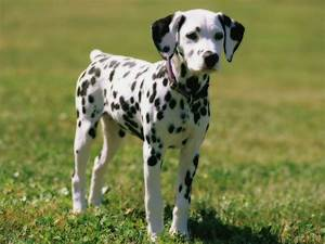 Dalmatian Dog Personality, Appearances, History and ...