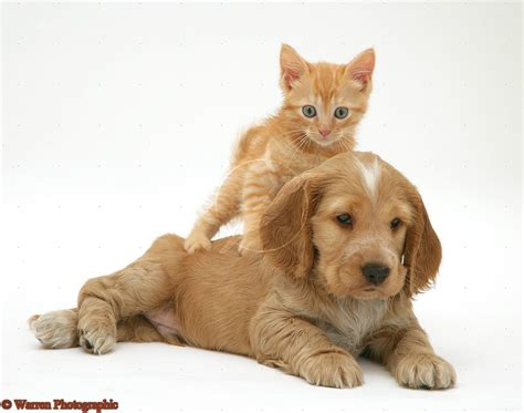 cute puppy dogs cocker spaniel puppies
