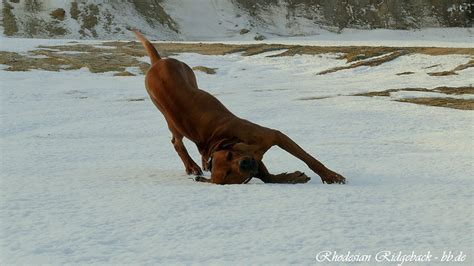 rhodesian ridgeback dog breed health these dogs tend to