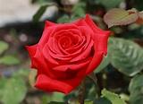 Rosa - Wikidata