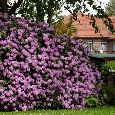 how fast do azaleas grow lavender rhododendrons for sale fast growing trees