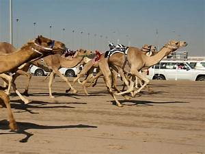 Course De Chameau : check out this awesome camel racing gallery racehorse meds racehorse meds ~ Medecine-chirurgie-esthetiques.com Avis de Voitures
