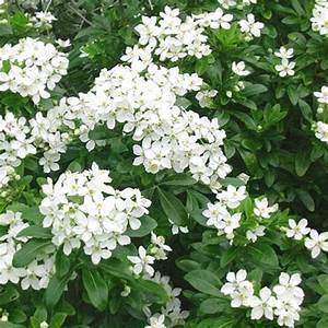 La Maison Du Blanc : arbustes feuillage persistant jardinerie riera ~ Zukunftsfamilie.com Idées de Décoration