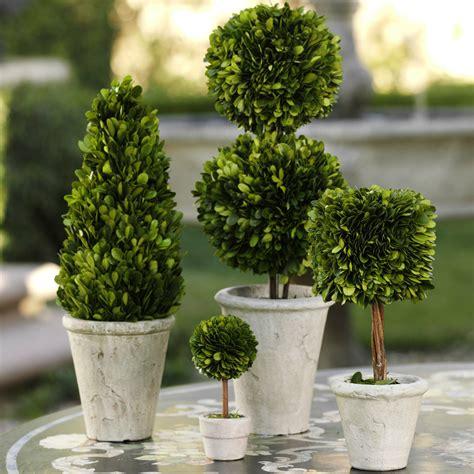 boxwood topiary trees 20 common boxwood buxus sempervirens shrub tree seeds 1773