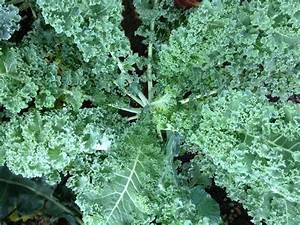 Vates Blue Curled Scotch Kale - Curly Kale - Bulk ...