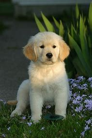 Dog Breeds Golden Retriever Puppies