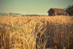 Wheat Fields Photography