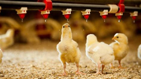 poultry farm brings   jobs  huntly stuffconz