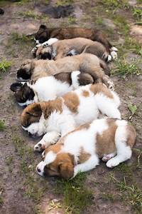 best 25 st bernards ideas on pinterest saint bernard With saint bernard dog house