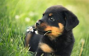 Pics Photos Rottweiler Wallpaper Hd 7 Dogs Wallpaper ...