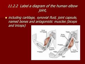 11 2 Muscles And Movement