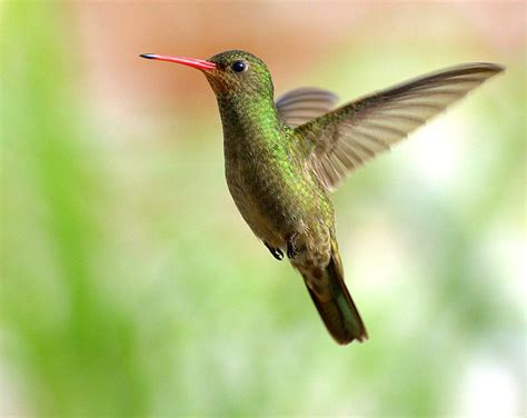 apodiformes hummingbirds and swifts wildlife journal