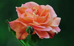 Beautiful Flowers Roses Wallpaper 570812 - WallDevil