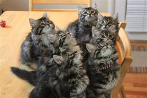 Cats La : 1000 images about siberian cats on pinterest siberian cat siberian kittens and siberian ~ Orissabook.com Haus und Dekorationen