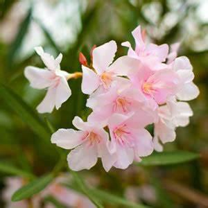 Oleander Draussen überwintern : oleander nerium oleander pflege und berwintern ~ Eleganceandgraceweddings.com Haus und Dekorationen