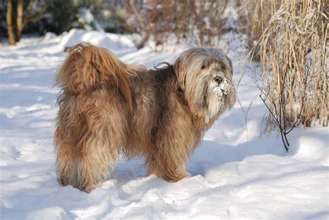 tibet terrier steckbrief charakter wesen haltung