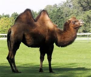 Bactrian Camel - Diet, Pictures, Facts, Habitat, Behavior ...