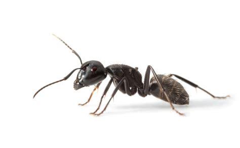 Tipps Und Hausmittel Gegen Ameisen, Die Wirklich Helfen