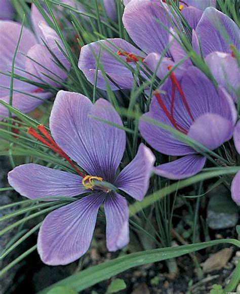 best 25 saffron flower ideas on kashmir trip