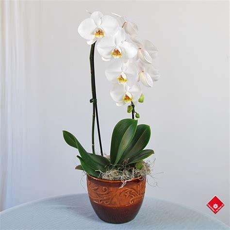 orchid 233 e phalaenopsis de chez votre fleuriste 224 montr 233 al le pot de fleurs