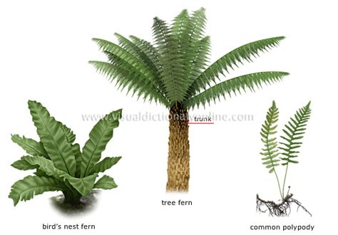 fern plant images plants gardening plants fern examples of ferns image visual dictionary online