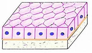 Simple Cuboidal Epithelium Function  Epithelial Tissue Structure  Location And Slides