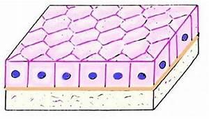 Simple Cuboidal Epithelium Function  Epithelial Tissue
