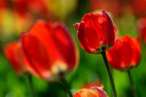 The Tulips Of Sherwood Gardens