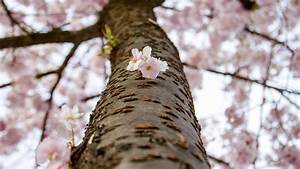 Hausmittel Gegen Mäuse : kirschbaum pflanzen kirschbaum pflanzen tipps garten ~ Lizthompson.info Haus und Dekorationen