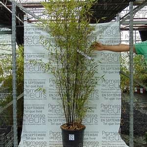 Bambous En Pot : bambou noir phyllostachys nigra superbes chaumes noir ~ Melissatoandfro.com Idées de Décoration