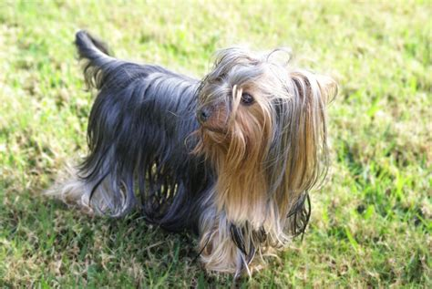 Fileyorkshire Terrier Gr Jpg Wikimedia Commons